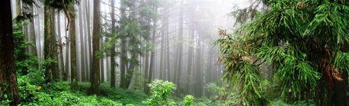 Alishan Trees V