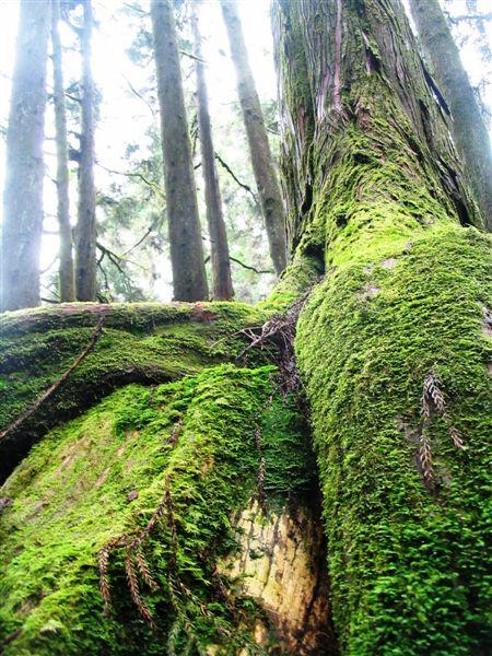 Ali Shan trees